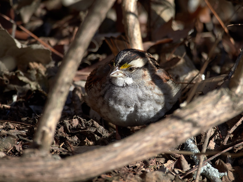 White-throated Sparrow, Ontario