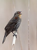 Redwing Blackbird, Female, Ontario