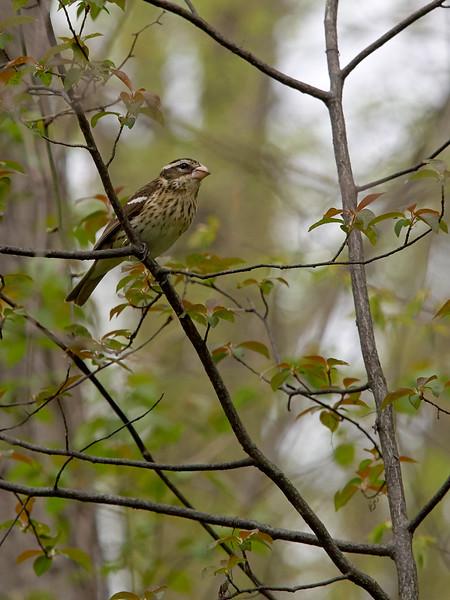 Rosebreasted Grosbeak, Female, Ontario