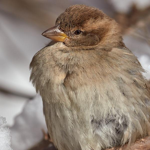 House Sparrow - female, Ontario
