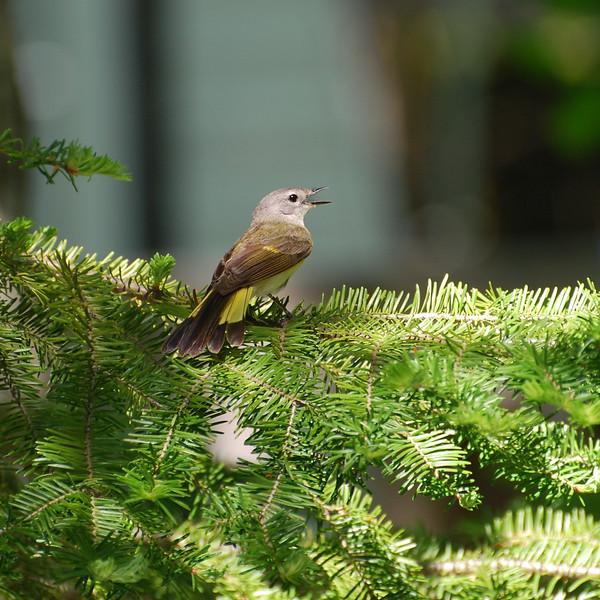 American Redstart, Ontario