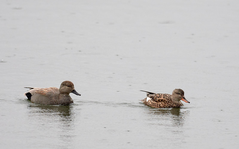 Gadwall - male and female, Ontario