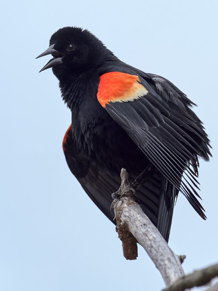 Redwing Blackbird - male, Ontario
