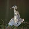 Great Blue Heron, Ontario