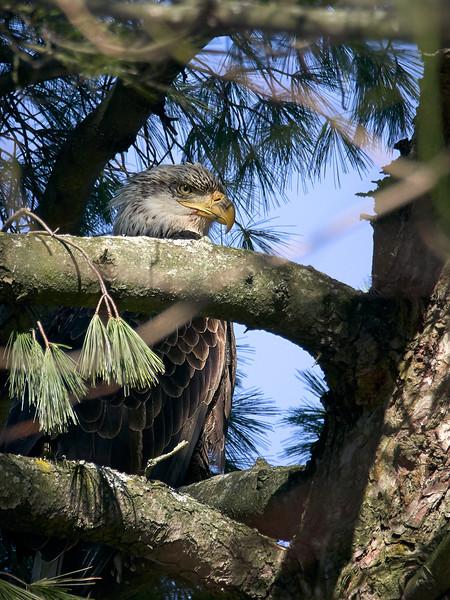 Bald Eagle - Juvenile, Ontario