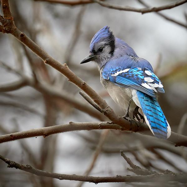 Blue jay, Ontario