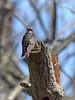 Bank Swallow, Ontario