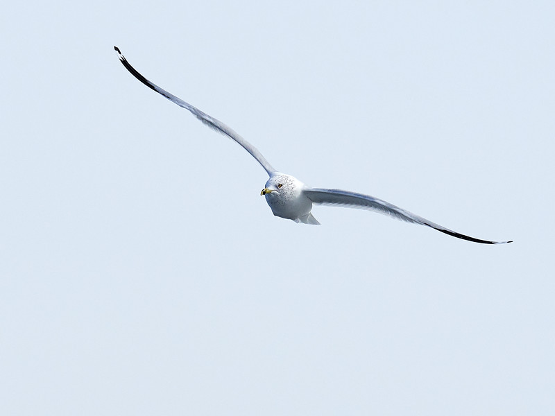 Ring-billed Gull, Ontario