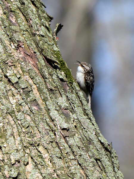 Brown Creeper, Ontario