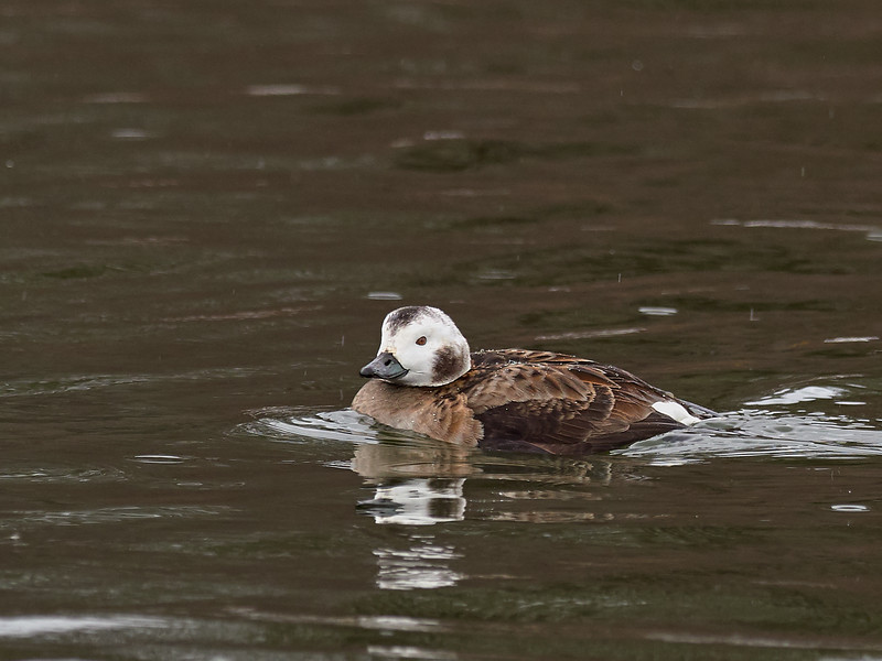 Long-tailed Duck - female, Ontario