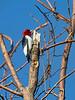 Redheaded Woodpecker, Ontario