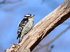 Downy Woodpecker, Ontario