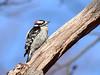 Downy Woodpecker, Ontario