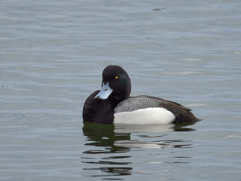 Greater Scaup - male, Ontario