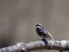 Yellow-rumped Warbler - male, Ontario