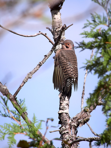 Northern Flicker, Yellow-shafted - Male, Ontario