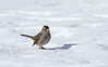White-crowned Sparrow - immature, Ontario