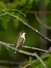 Ruby-throated Hummingbird - female, Ontario