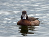 Greater Scaup - female, Ontario