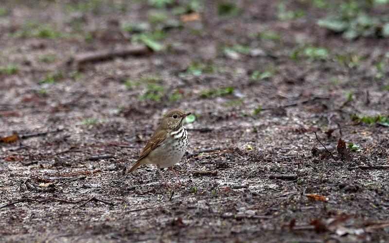 Hermit Thrush, Ontario