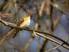 Tennessee Warbler, Ontario