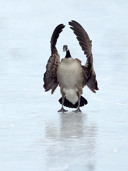 Canada Goose, Ontario