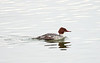 Common Merganser - female, Ontario
