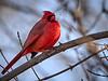 Cardinal - male, Ontario