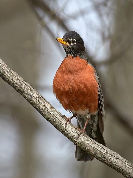 American Robin, Ontario