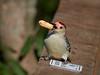 Red-bellied Woodpecker, Ontario