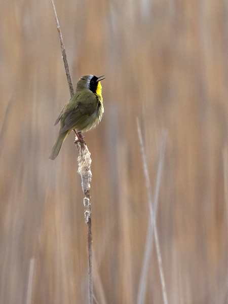 Common Yellowthroat Warbler, Ontario
