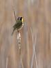 Common Yellowthroat Warbler, Ontario