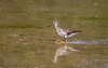 Greater Yellowlegs, Ontario