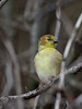 American Goldfinch - female, Ontario