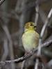 American Goldfinch - female, Ontario
