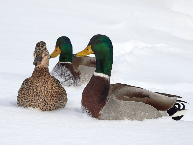 Mallards - male and female, Ontario
