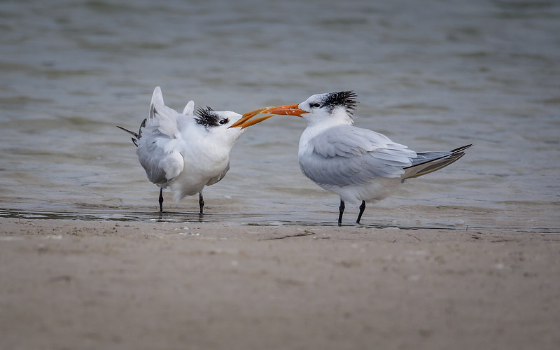 Royal Tern, Florida
