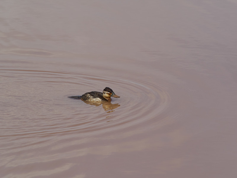 Ruddy Duck, Arizona
