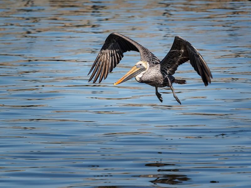 Brown Pelican, Florida