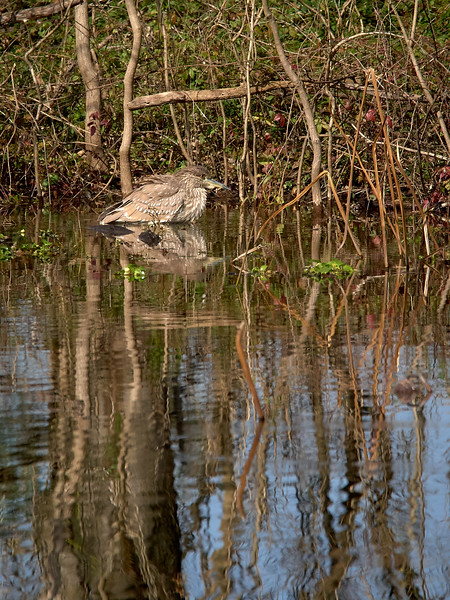 Blackcrowned Night Heron, Texas