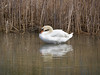 Mute Swan, Ontario