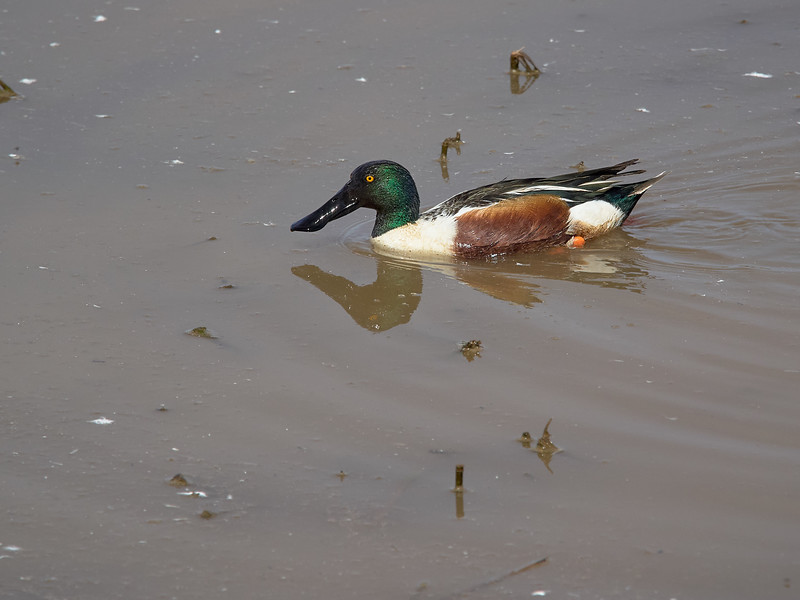 Northern Shoveler, Arizona