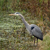 Great Blue Heron, Texas
