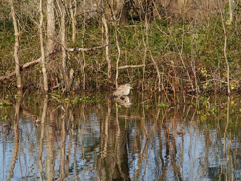 Black-crowned Night Heron, Texas