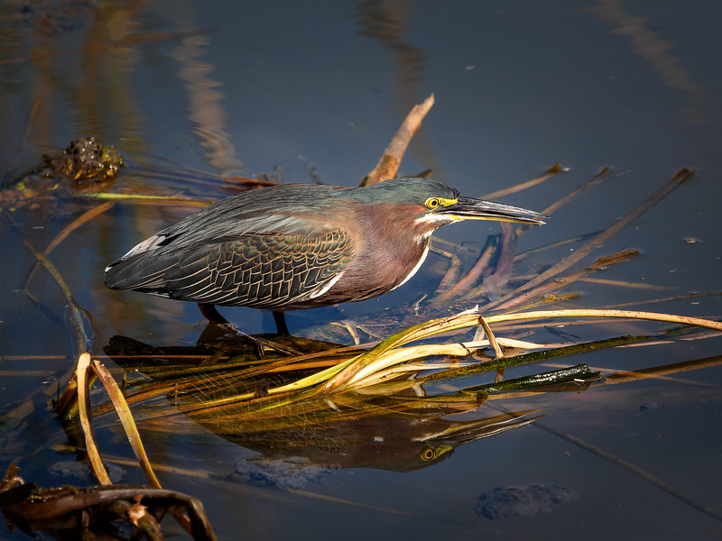 Green Heron, Texas