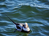 Long-tailed Duck, Ontario
