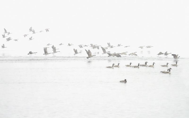 Canada Geese Landing, Ontario