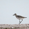 Black-bellied Plover, California