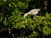 Black-crowned Night Heron, Florida