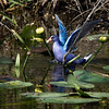 Purple Gallinule, Florida